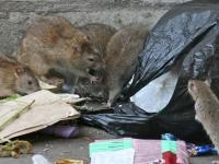 Крысы атакуют город (рис.1)